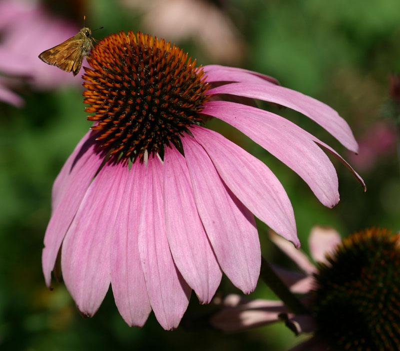 echinacea-purpurea-primadonna-m2.jpg